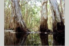 melalueca swamp